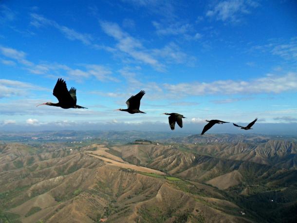 """Os íbis-eremitas fotografados em experimento sobre voo em """"V"""" na Itália (Foto: Markus Unsöld)"""