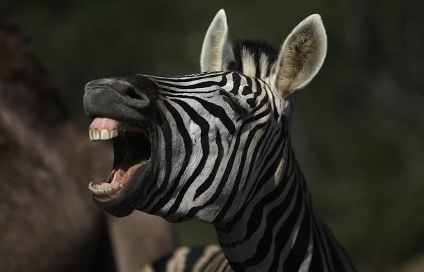 Zebra no Portobello Resort, em Mangaratiba (RJ), onde a seleção da Itália se hospeda (Ricardo Moraes/Reuters)